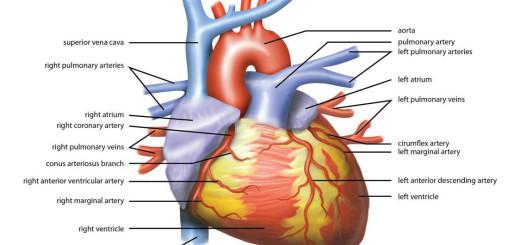 cuore anatomia