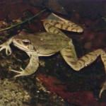 rana-dalmatina-percedol
