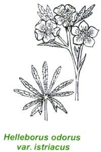 Helleborus odorus var. Istriacus