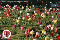 tulipani miramar
