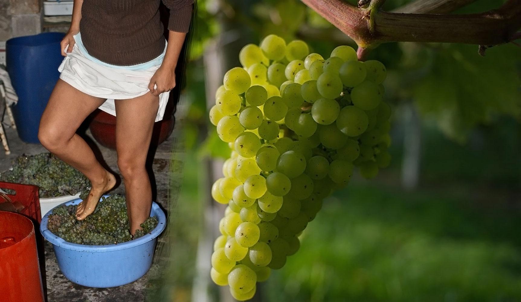 vendemmia uva bianca e pigiatura