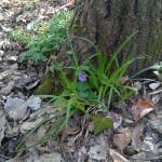 percedol-fiore