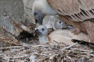 grifone-nido