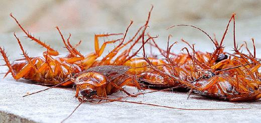 scarafaggi blatta rossa