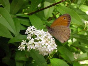 ligustro e farfalla Curiosi di Natura