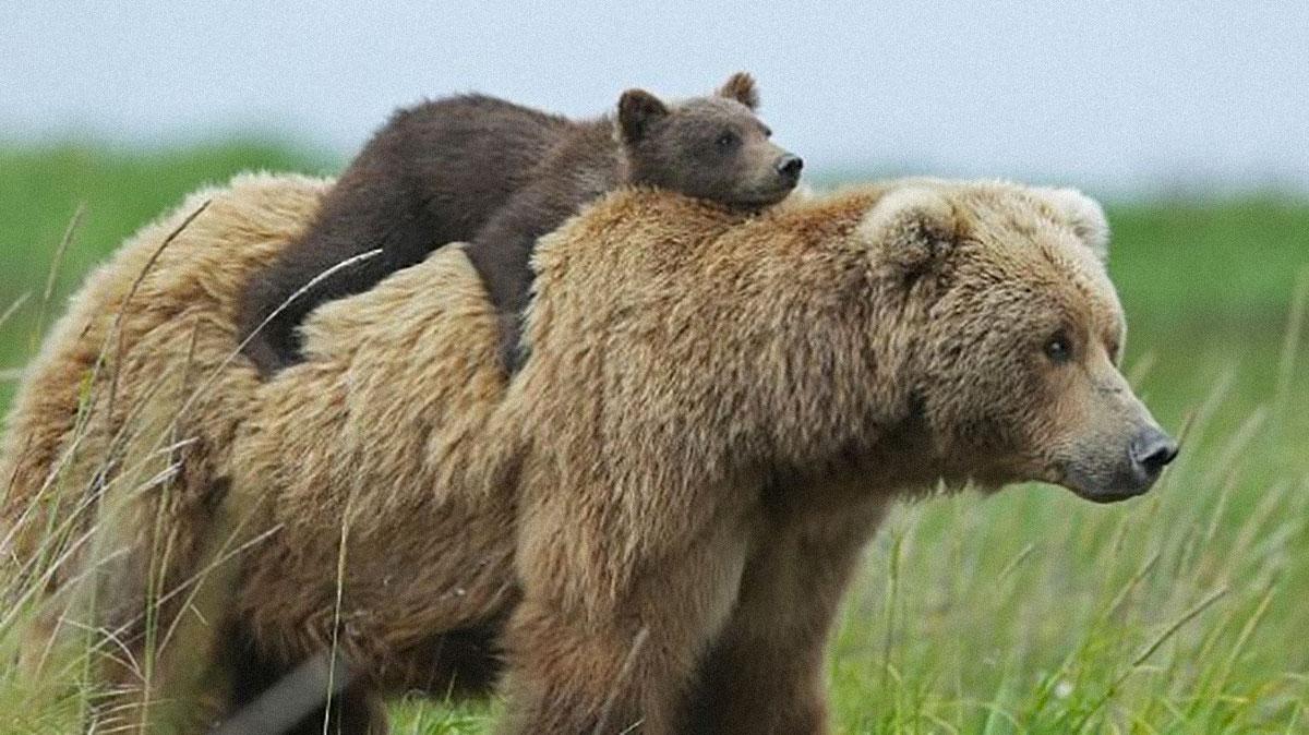 Progetto Life Ursus, ripopolazione di orsi dalla Slovenia - www.informatrieste.eu