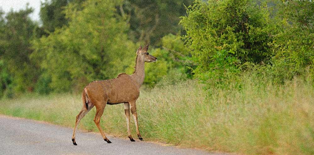 cerva in strada cervo