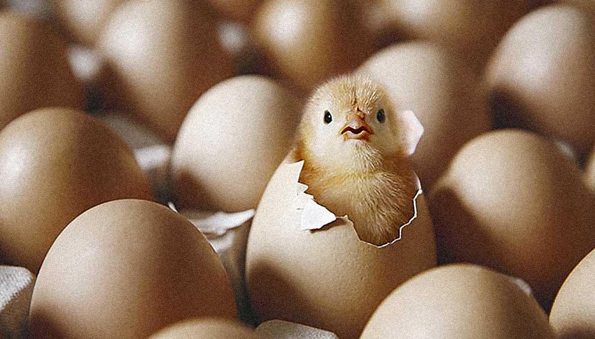 pulcini e bambini uova