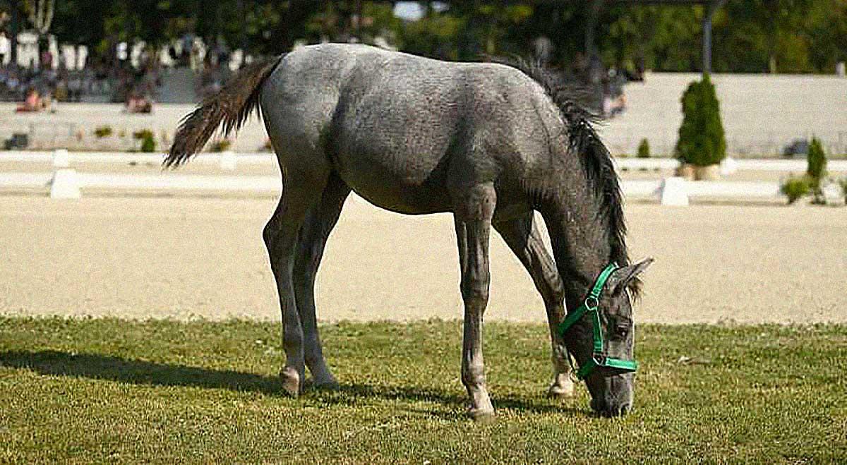 cavallo lipizzano Lipiza