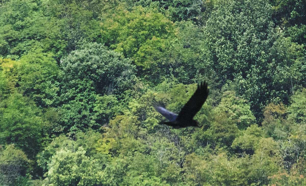 corvo imperiale in volo Cornino