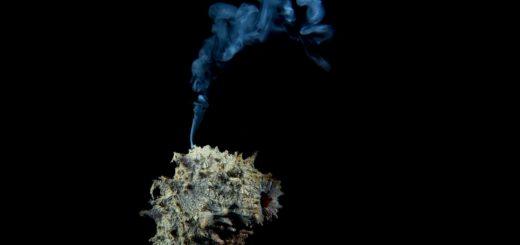 oloturia che emette gameti, non fuma