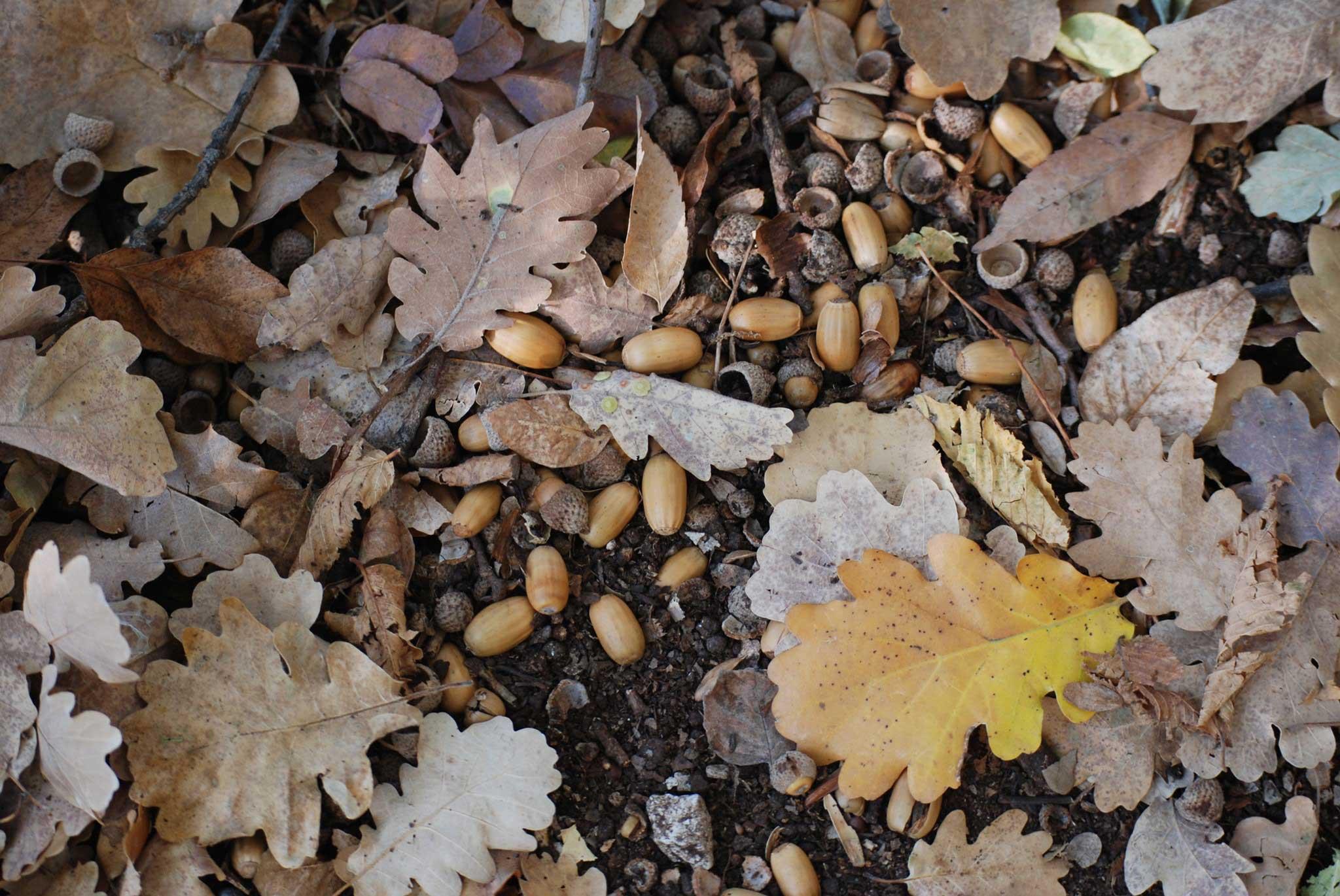 Roverella foglie e ghiande