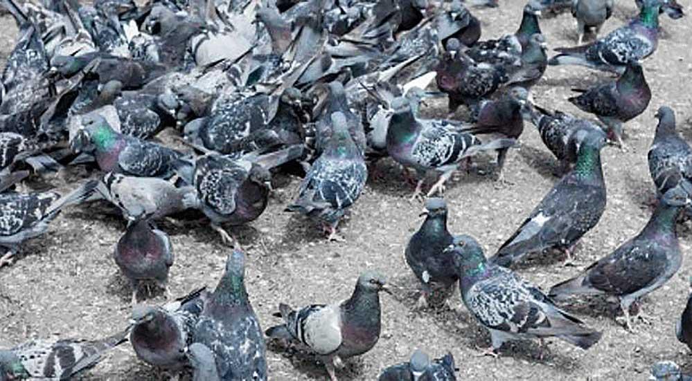 invasione colombi piccioni