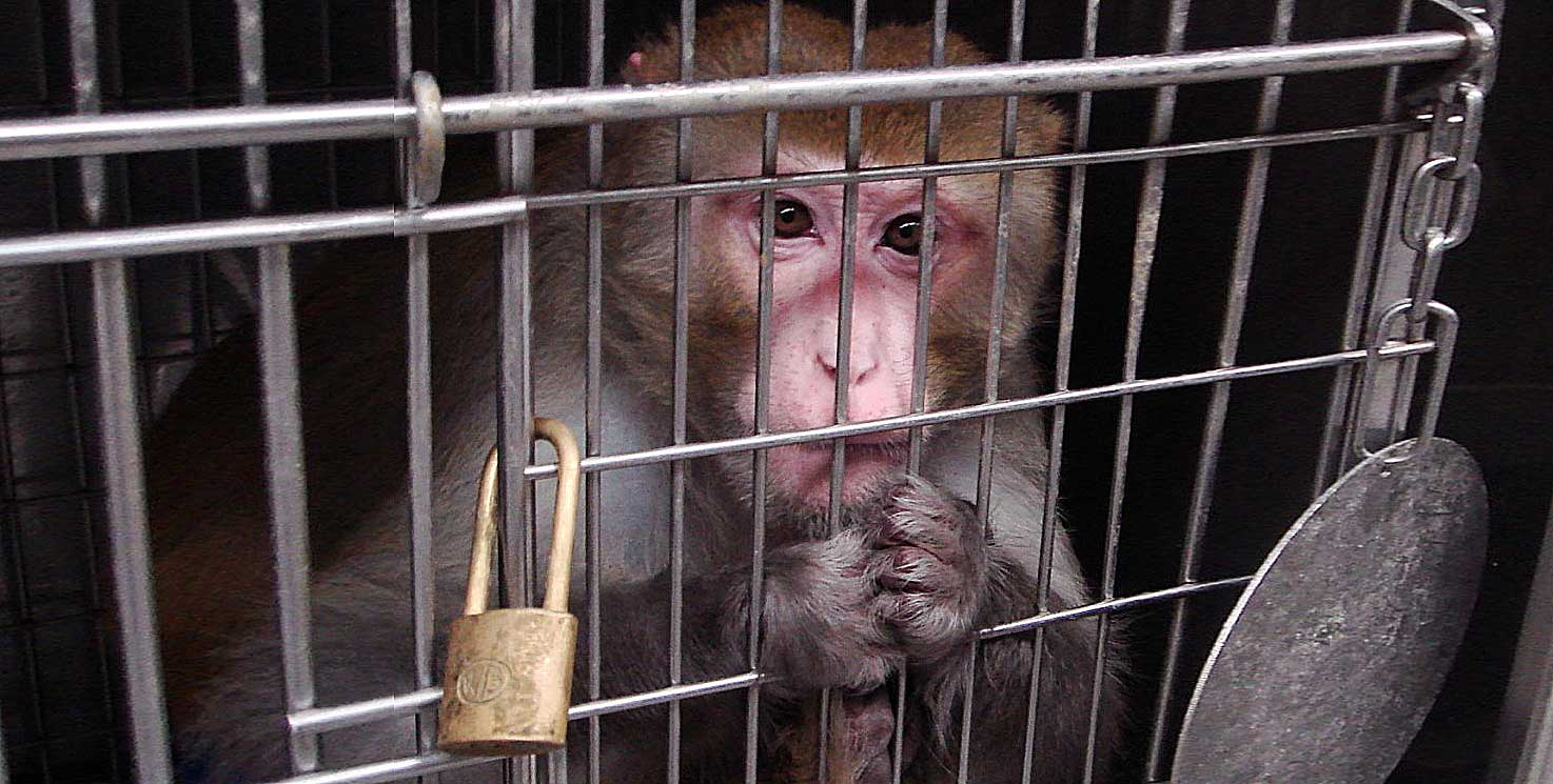 macaco in gabbia
